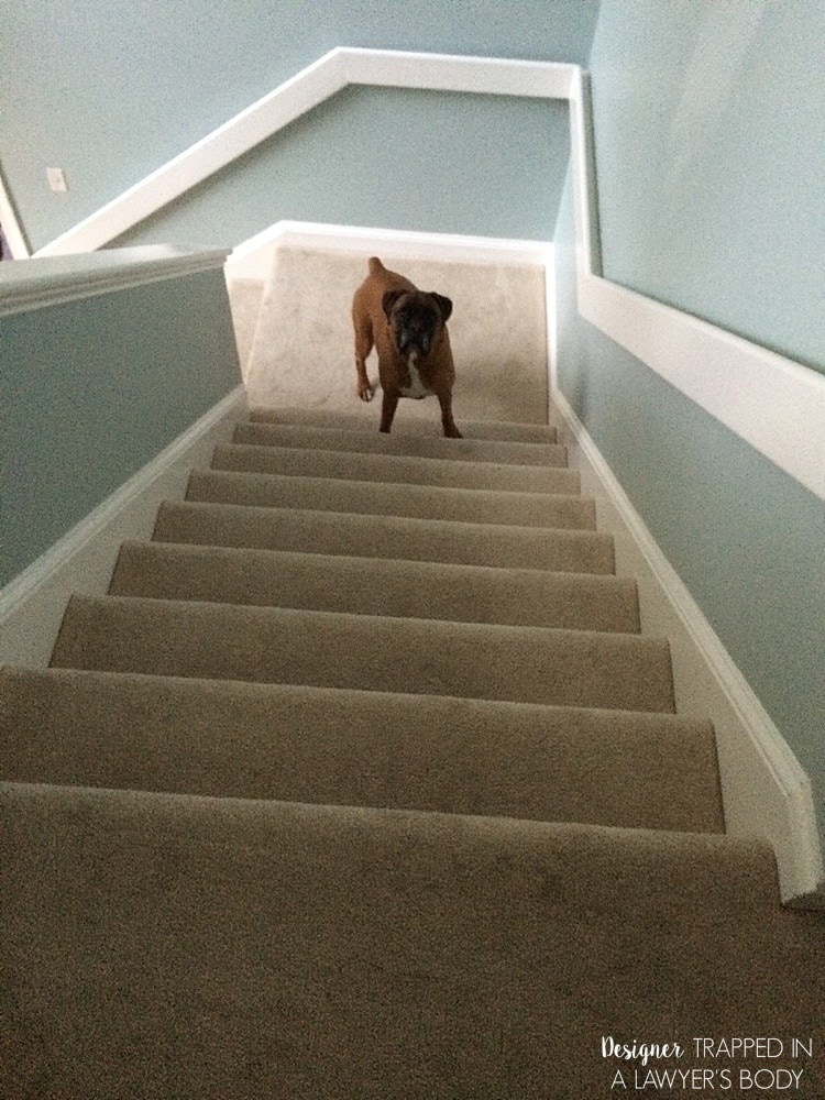 boxer on carpeted stairs