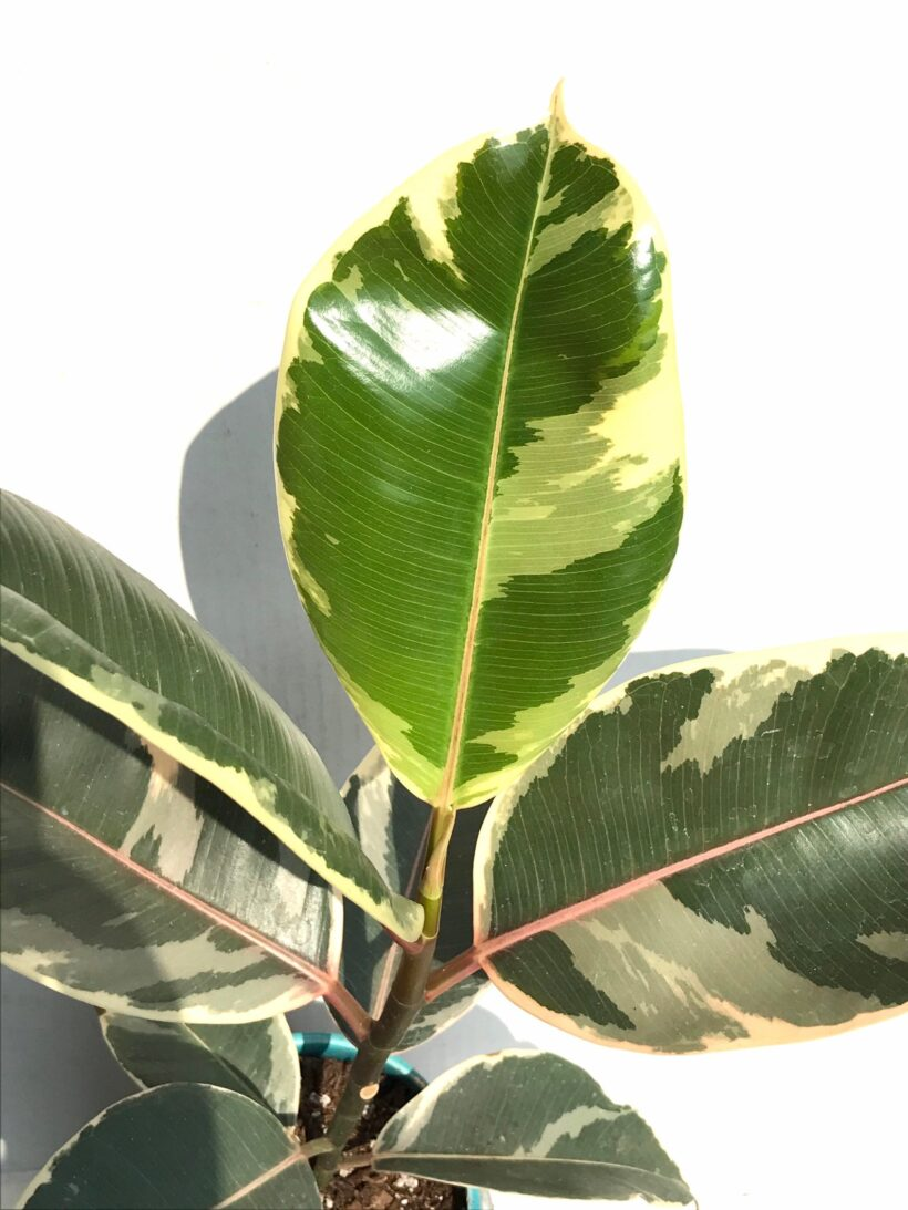 variegated rubber plant presents for mothers